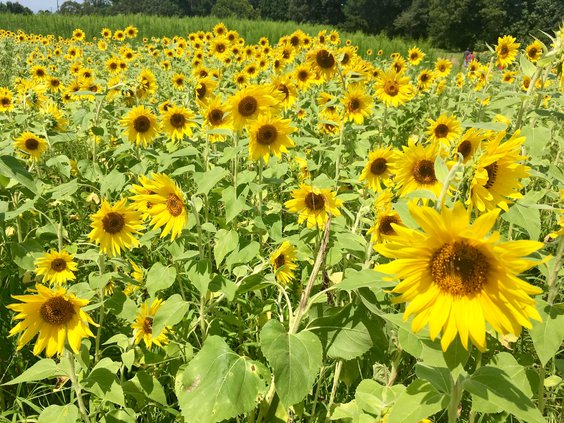 The Anderson's Sunflower Farm 1 070319 web
