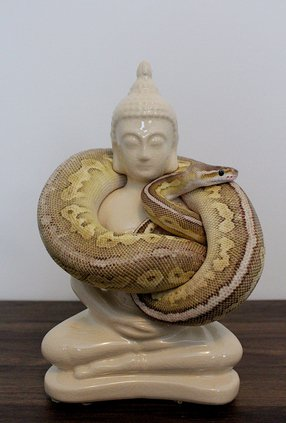 Cinnamon Pastel Lesser Ball Python