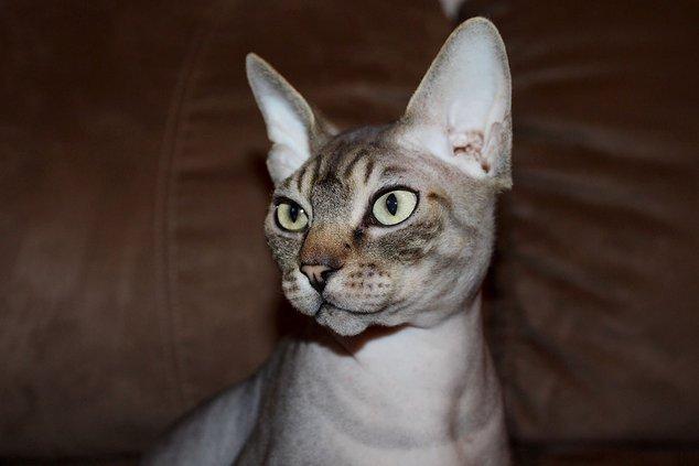 Sphynx Cat